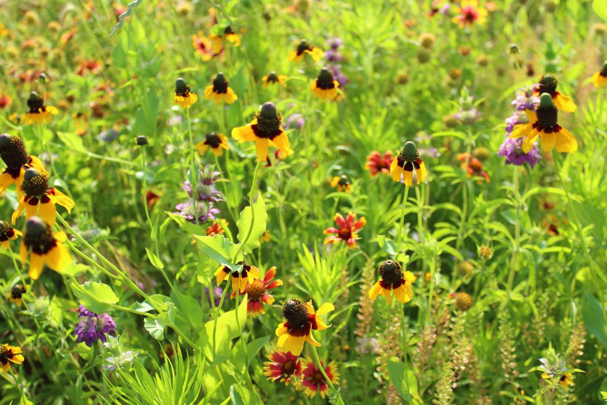 Prairie Wild Flowers