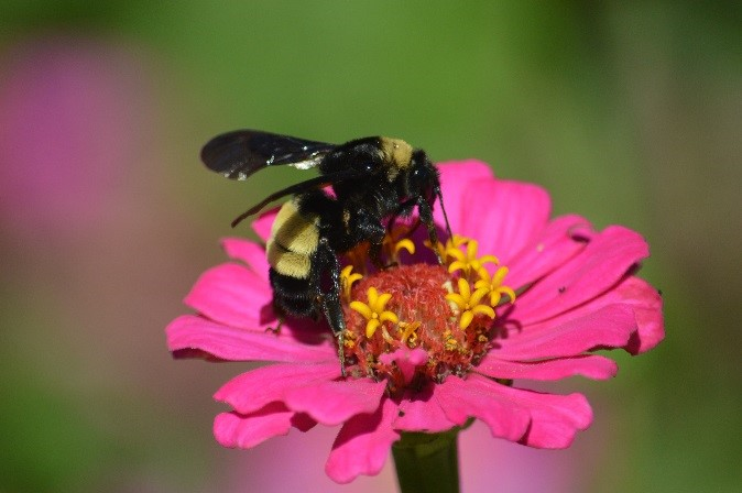 Bee on top of a pink flower
