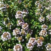 bees on thyme