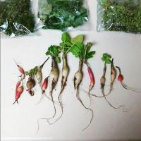 Raddish and Herbs
