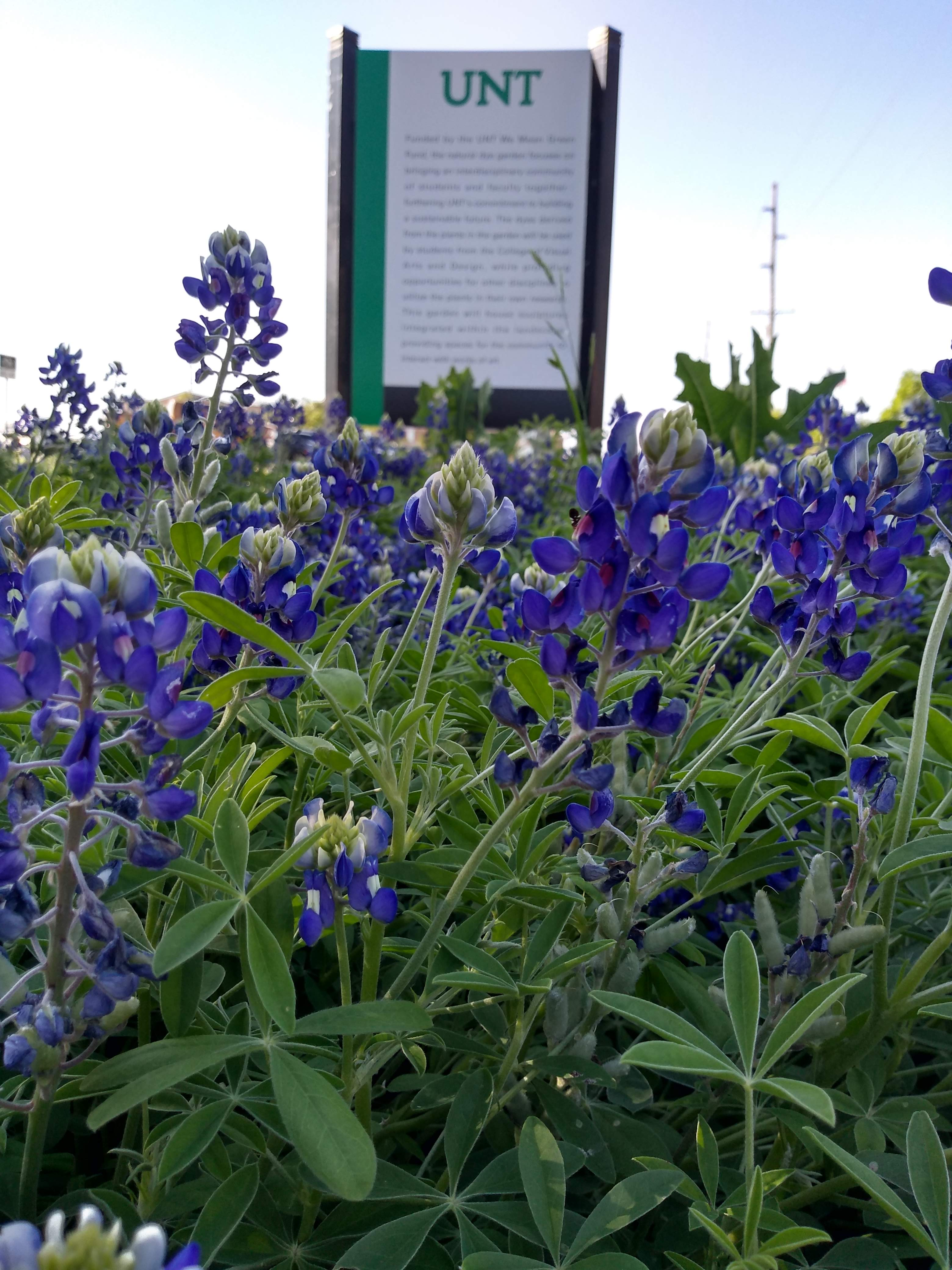 The Natural Dye Garden sign surrounded by bluebonnets