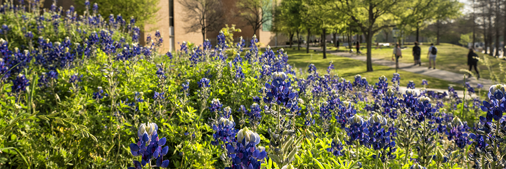 bluebonnets on campus